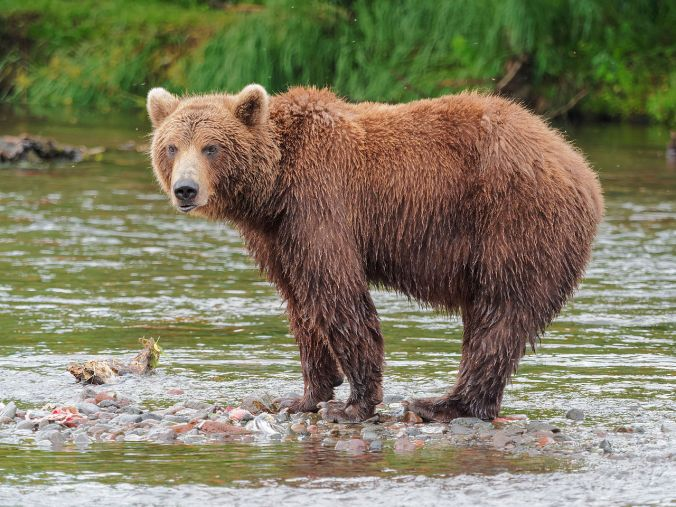 Kamchatka_Brown_Bear_near_Dvuhyurtochnoe_on_2015-07-23