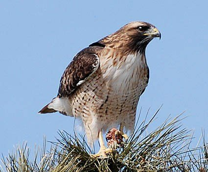 red_tailed_hawk_62097115964.jpg