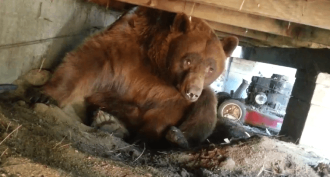 brown-bear1813721803.png